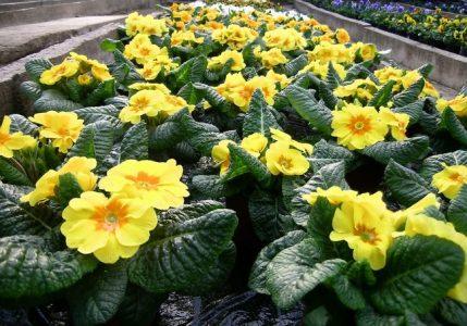 Frühlingsblumen 4
